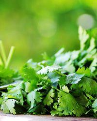 coriandrul frunze pentru pierderea de grăsimi
