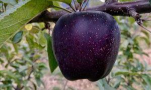 In China wachsen schwarze Diamantäpfel