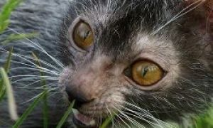 En rase av katter-varulver
