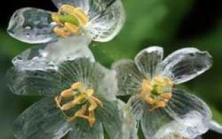 Flor de esqueleto – torna-se transparente durante a chuva