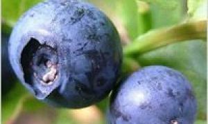 Afine: fructe de pădure