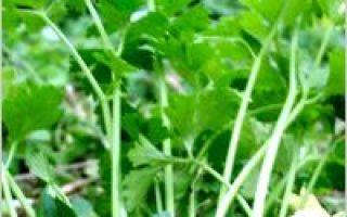"""Țelină: planta """"plină de farmec"""""""