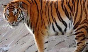 10 rzadkich zwierząt z czerwonej księgi danych Rosji