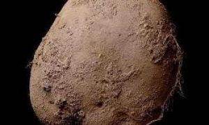 Et bilde av en potet solgt for 1 million dollar
